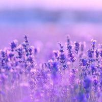 Lavendel-NY